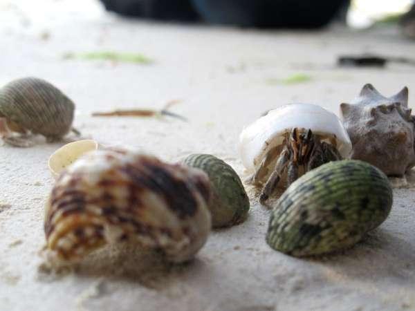 Lahunduru shell 4