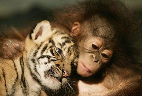 orang utan and sumatran tiger