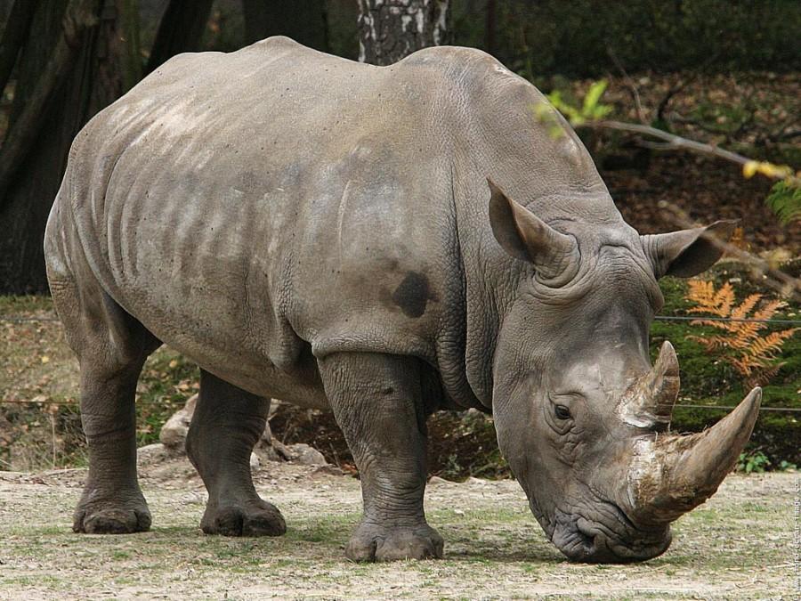 Javanicus Rhinoceros 2