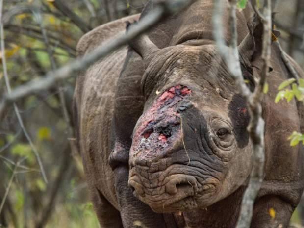 Javanicus Rhinoceros