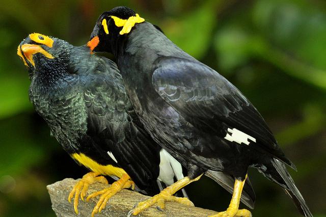 Nias Parrots