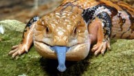 Indonesian Blue Tongue Skink 2