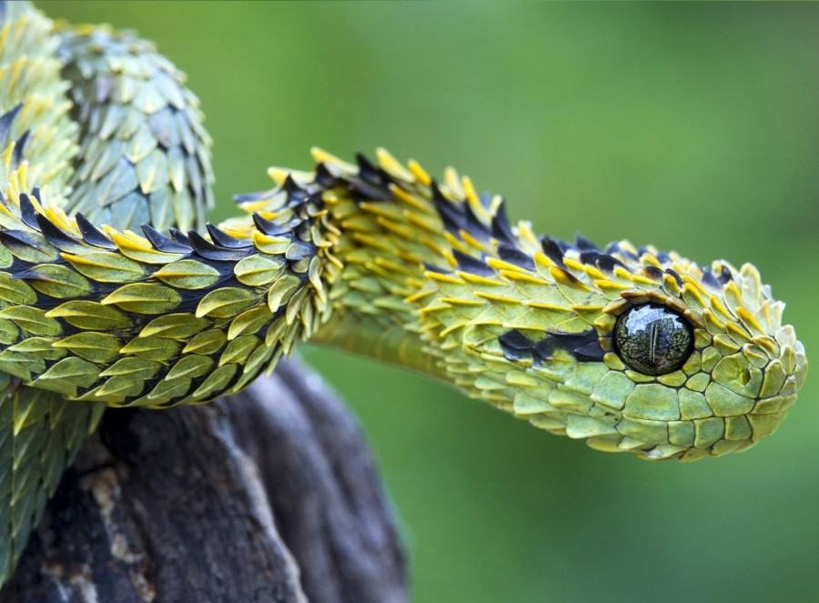 Hairy Bush Viper (Atheris hispida)
