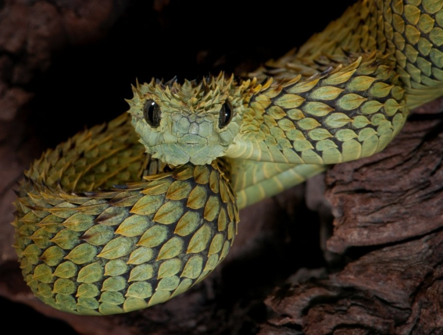 indonesian autumn adder 4