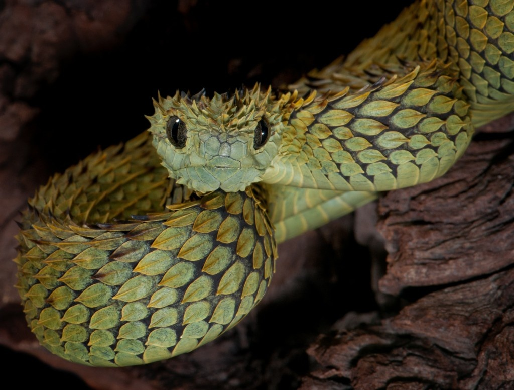 indonesian autumn adder the most beautiful snake in the world