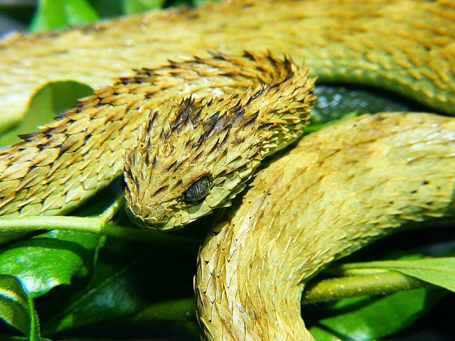 indonesian autumn adder