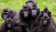 Black Sulawesi Macaques The Most Unique Ape In The World