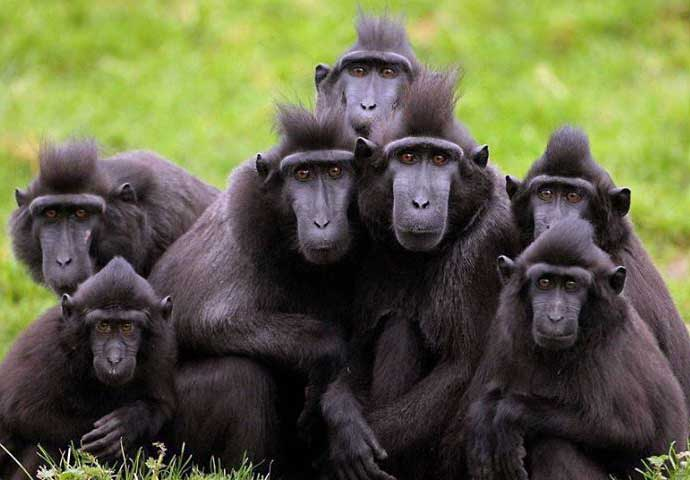celebes crested macaques the most unique ape