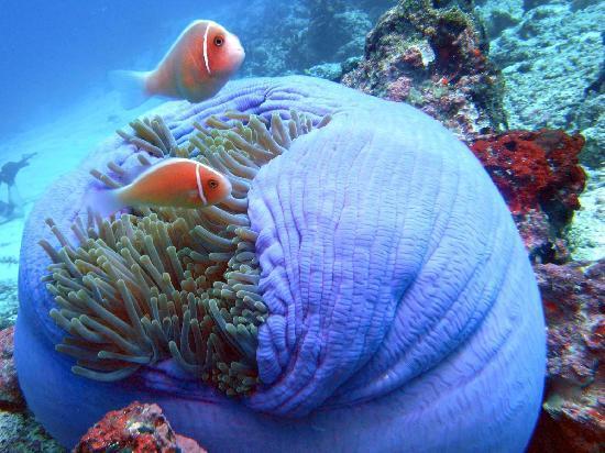 Clown Fish Bunaken